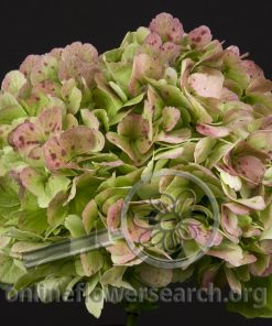 Hydrangea Antique Green