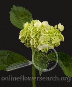 Hydrangea Mini Light Green
