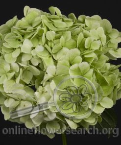 Hydrangea Lime Green - Large