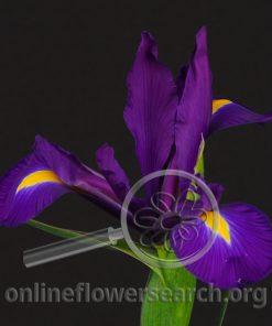 Iris Hong Kong