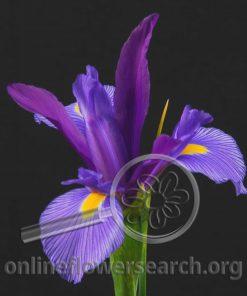 Iris Blue Elegance