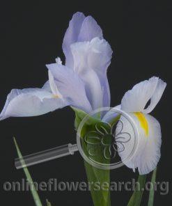 Iris Ideal