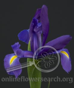Iris Professor Blue