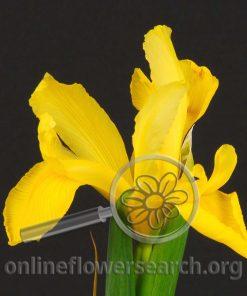 Iris Golden Beau