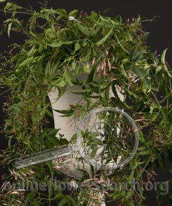 Jasmine Vine Flowering