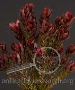 Leucadendron Spray Red Gem
