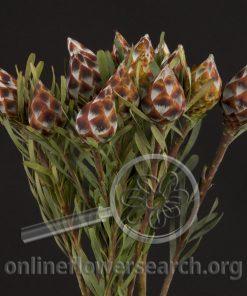 Leucadendron Plumosum