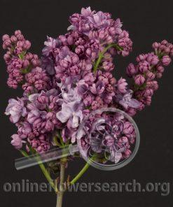 Lilac French Hybrid Lavender