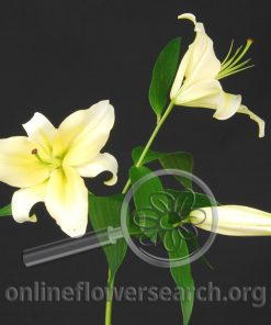 Lily Oriental Conca d'Or
