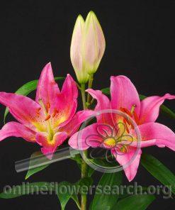 Lily Oriental Argentina