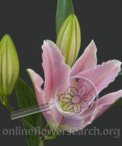 Lily Oriental Maurena