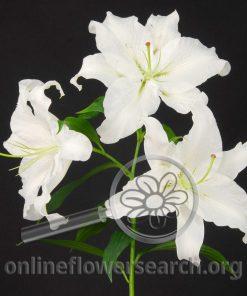 Lily Oriental Casablanca