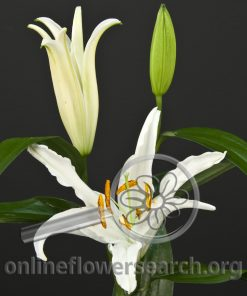 Lily Oriental Mothers Choice