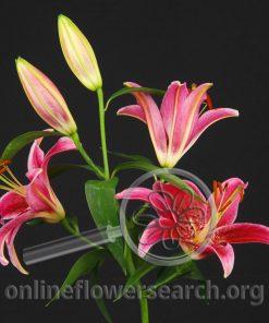 Lily Oriental Montezuma