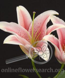Lily Oriental La Mancha