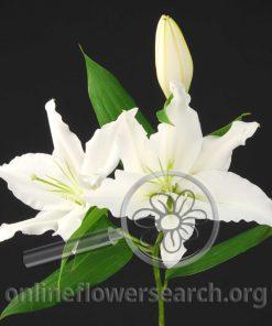 Lily Oriental Rialto