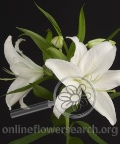 Lily Oriental Crystal Blanca
