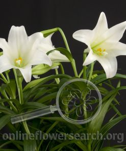 Lily Easter (longiflorum)