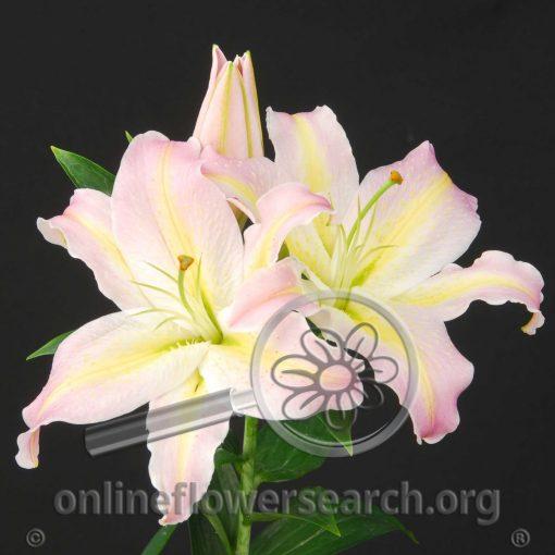 Lily Oriental Tom Pouce