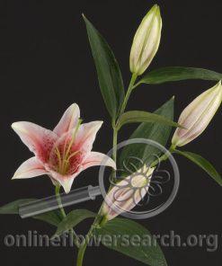 Lily Oriental Stargazer