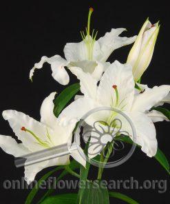Lily Oriental Siberia