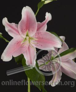 Lily Oriental Sorbonne