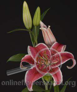 Lily Oriental Starfighter