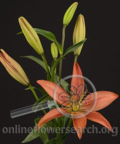 Lily LA Hybrid Cinnabar