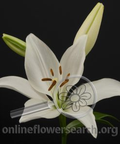 Lily LA Hybrid Bright Diamond