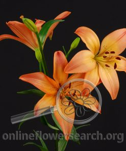 Lily LA Hybrid Royal Sunset