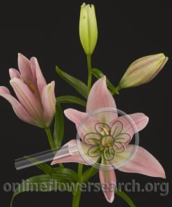 Lily Asiatic Party Diamond