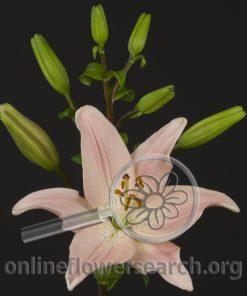 Lily Asiatic Renoir