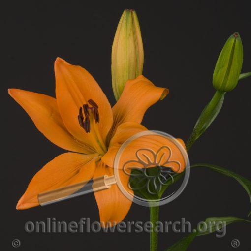 Lily Asiatic Brunello