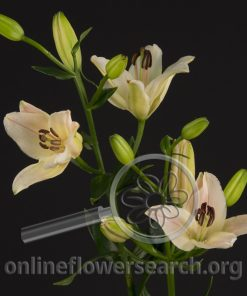 Lily Asiatic Light Pink