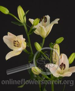 Lily Asiatic Pink