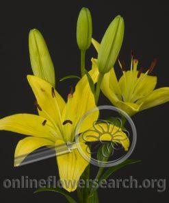 Lily Asiatic Yellow Diamond