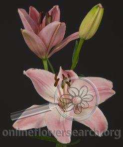 Lily Asiatic Vermeer