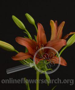 Lily Asiatic Monte Negro