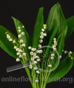 Lily of the Valley - White