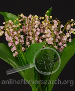 Lily of the Valley - Pink