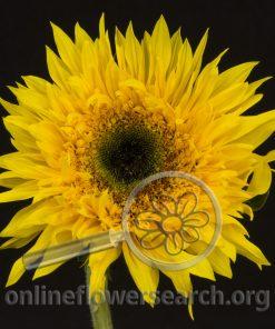 Sunflower Sunsplash (Black Center)