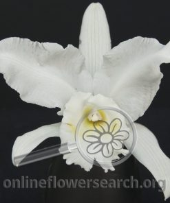 Cattleya Royal Bouquet White