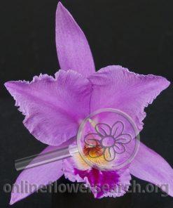 Cattleya Lavender