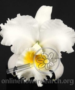 Cattleya White per bloom