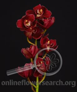 Cymbidium Stem Dark Pink