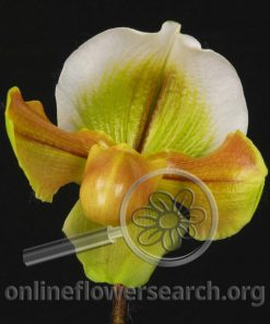 Cypripedium Green