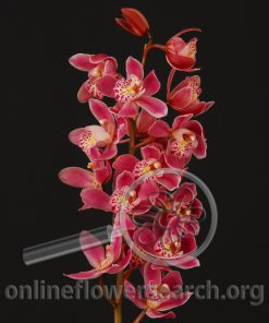 Cymbidium Mini Pink
