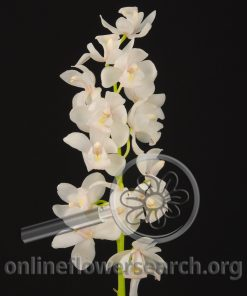 Cymbidium Mini White