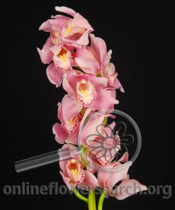 Cymbidium Stem Pink