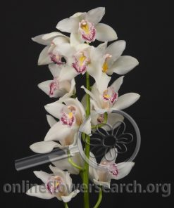 Cymbidium Stem White